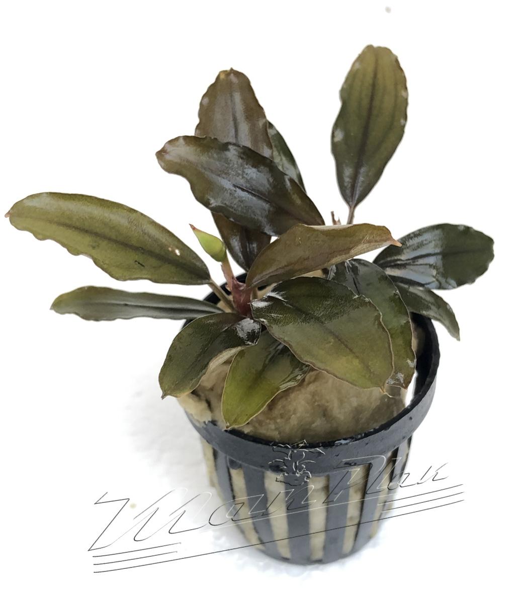 Bucephalandra Pandora (3) ManPlan