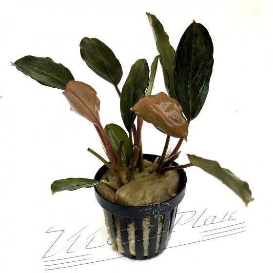 Bucephalandra Serimbu Brown (1) ManPlan