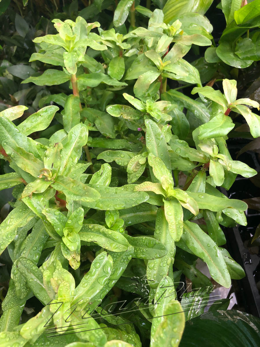 Amania senegalensis ManPlan