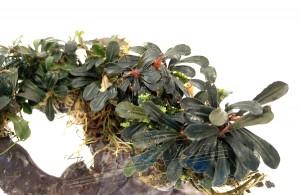 Bonsai Bucephalandra (1) ManPlan
