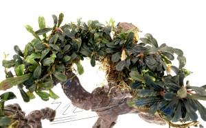 Bonsai Bucephalandra (12) ManPlan