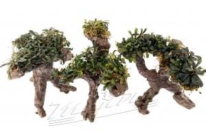 Bonsai Bucephalandra (9) ManPlan