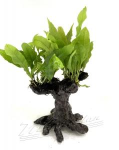 bonsai (4) ManPLan