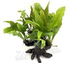bonsai (5) ManPlan