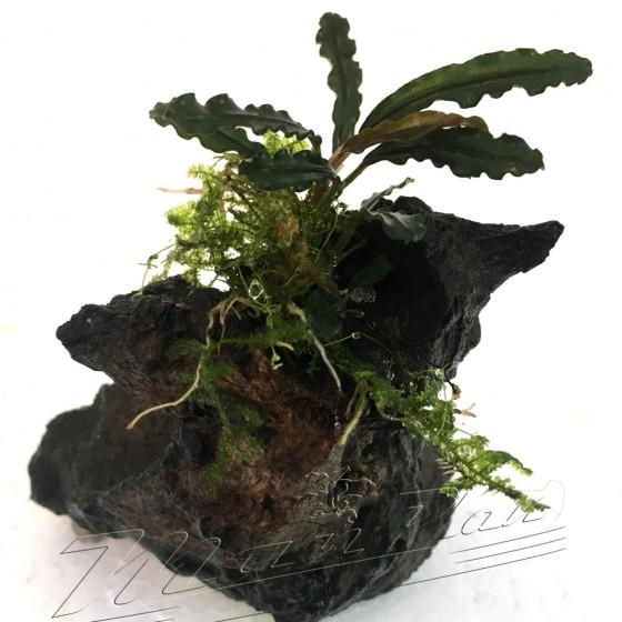 mini tronco bucephalandra (4) ManPlan