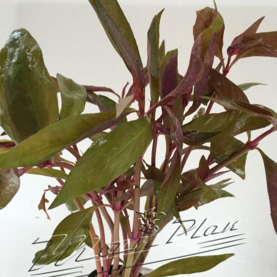 Alternantera Lilacina planta ManPlan