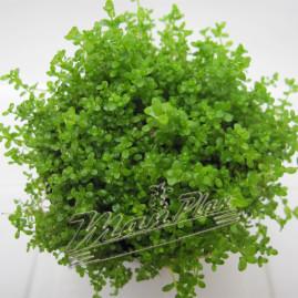 Hemianhus_callitrichoides_cuba