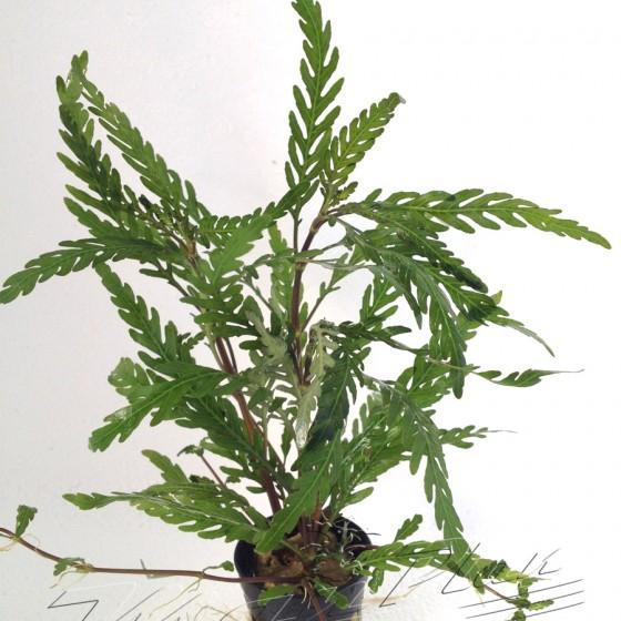 Hygrophilla Pinnatiphida ManPlan