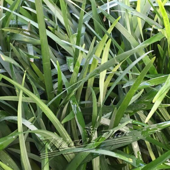 Ophiopogon Jaburan ManPlan