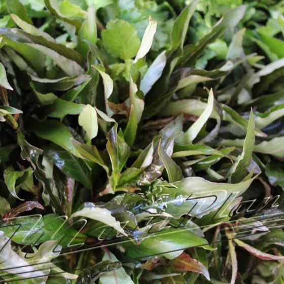 hygrophilla stricta hojas ManPlan