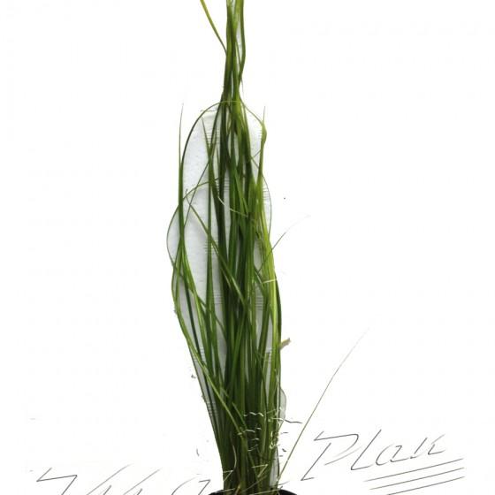 vallisneria nana ManPlan