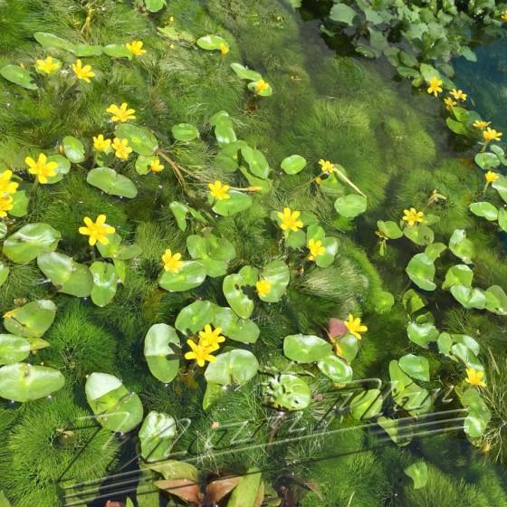 Cabomba estanque ManPlan