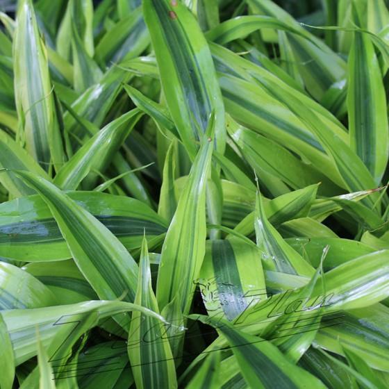 Dracena variegatus ManPlan