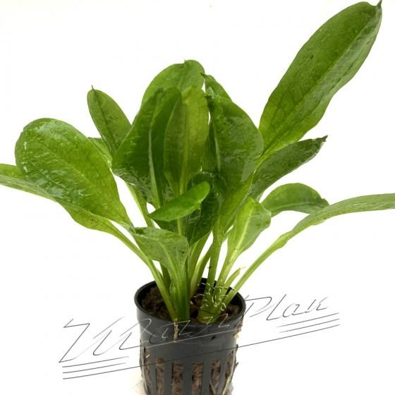 Echinodorus parviflora (3) ManPlan