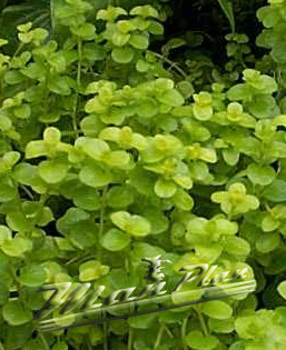 Lysimachia numularia aurea ManPlan