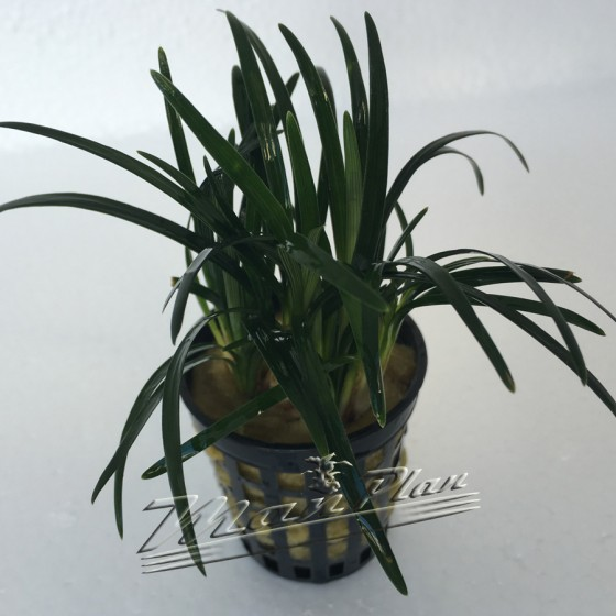 Ophiopogon Kioto planta ManPlan