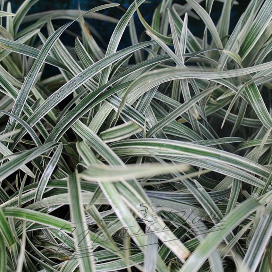 Ophiopogon variegatus detalle ManPlan