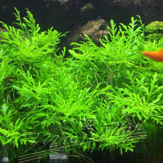 hygrophilla diformis sumergida acuario ManPlan