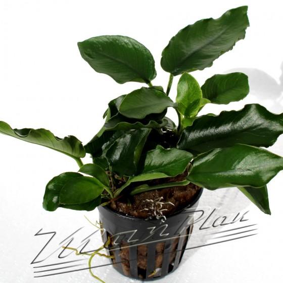 Anubias nana var krinkle leave 081 planta ManPlan