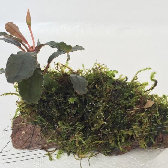 Bucephalandras en lava (14) ManPlan