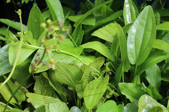Echinodorus surtudos ManPlan