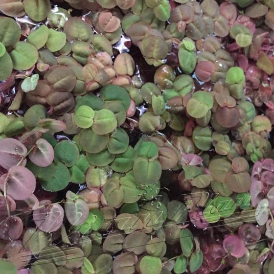 phillanthus-fluitans-manplan