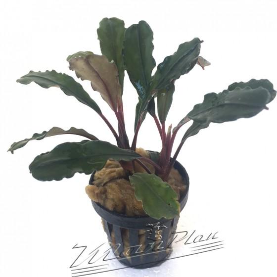 Bucephalandra new IO Green