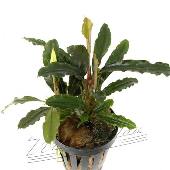 Bucephalandra Alamanda V3 dark (3) ManPlan