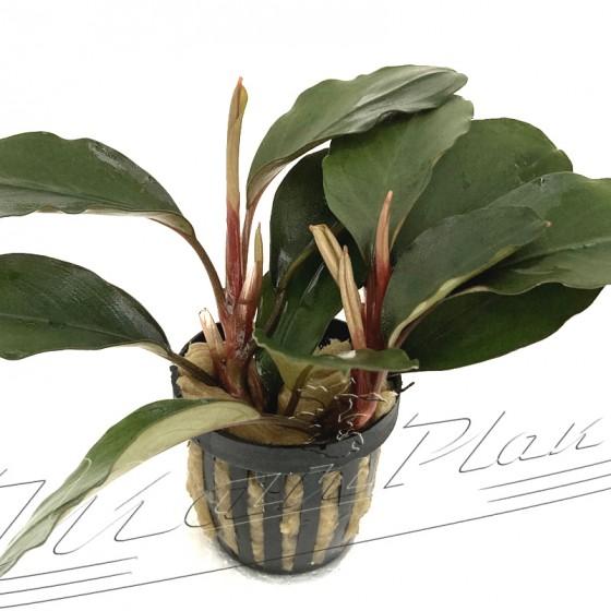 Bucephalandra BALLON (2) ManPlan
