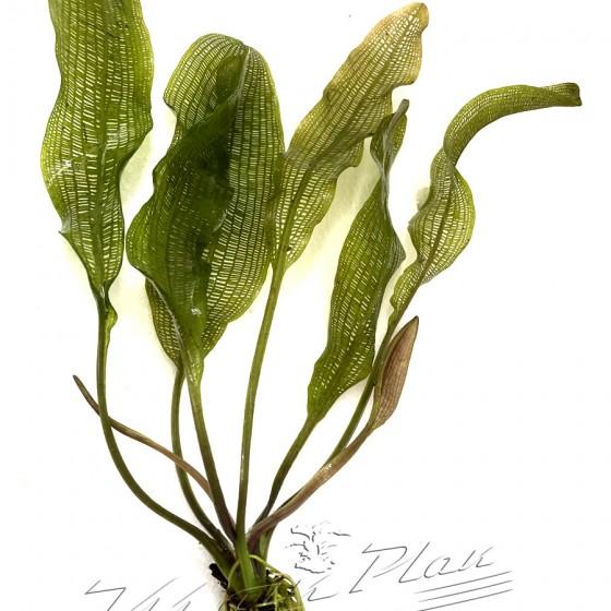 Aponogetum henkelianus (1) ManPlan