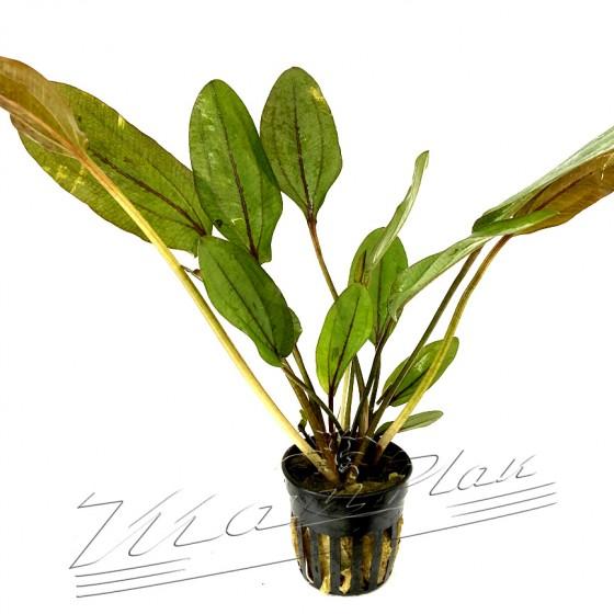 Echinodorus atlandsberg (1) ManPLan