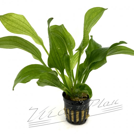 Echinodorus gabrieli ManPlan
