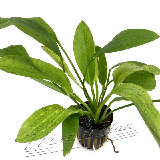 Echinodorus granat (3) ManPlan