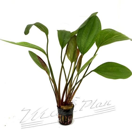 Echinodorus impai (3) ManPlan