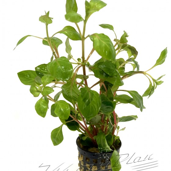 Ludwigia palustris (4) ManPLan