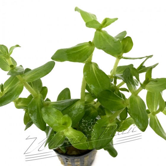 bacopa caroliniana (3) ManPLan