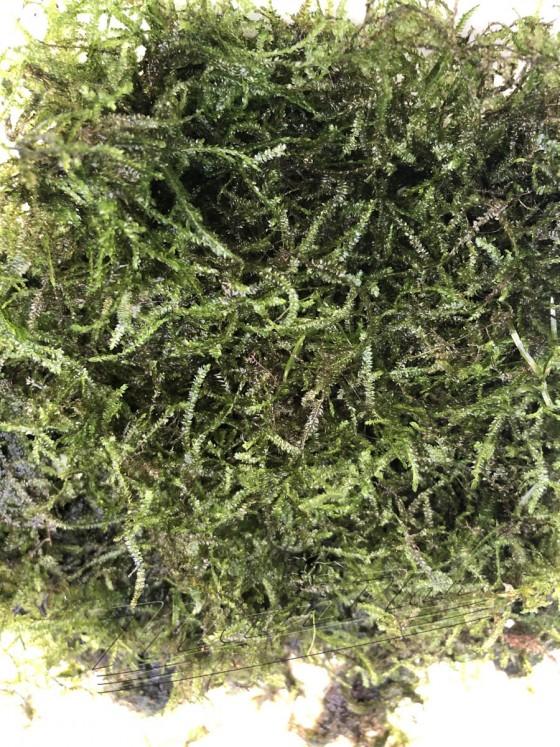ANCHOR ( Musgo Ancla- Vesicularia anchori ) (1) ManPlan
