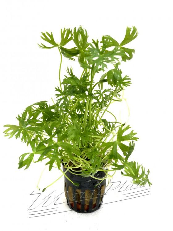 Ranunculus (2) ManPlan
