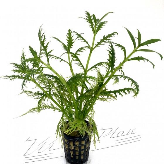 Hygrophila balsamica (1) ManPlan